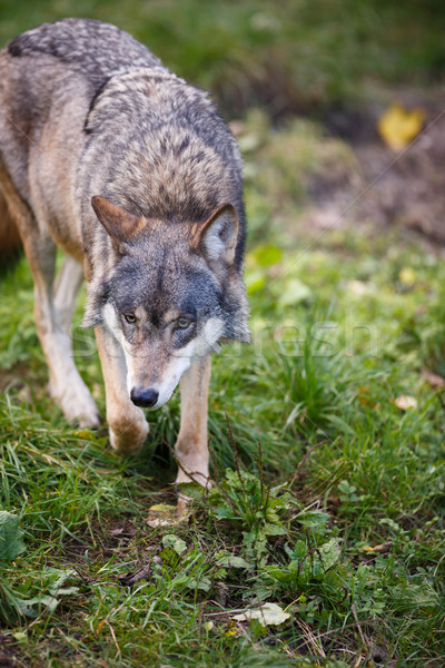 Gray/Eurasian wolf (Canis lupus) Stock photo © lightpoet