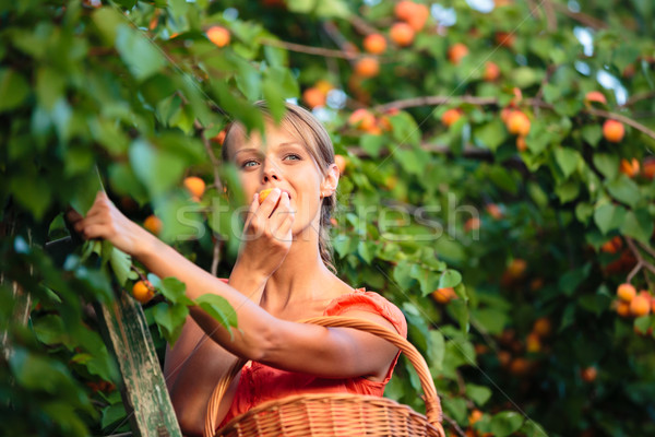 Pretty, young woman picking apricots lit by warm summer evening  Stock photo © lightpoet