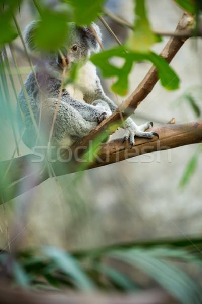 Koala on a tree with bush green background Stock photo © lightpoet
