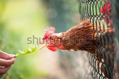 Henne Auge Natur Huhn Bauernhof rot Stock foto © lightpoet
