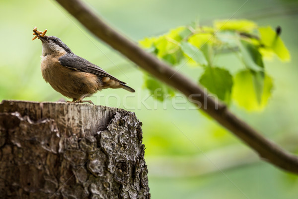 An adult red-breasted nuthatch having lunch Stock photo © lightpoet