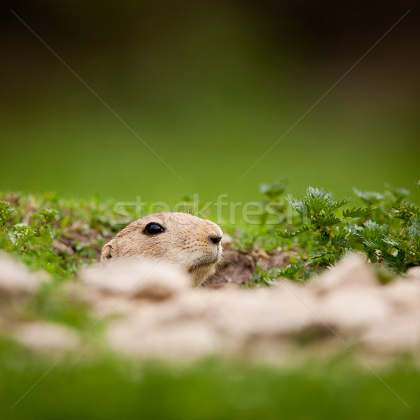 very cute black tailed prairie dog (Cynomys ludovicianus)  Stock photo © lightpoet