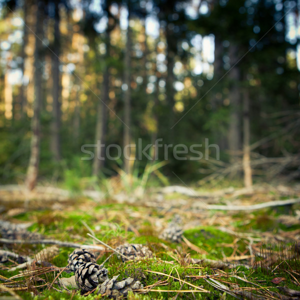 pine tree cones lying in the mossi  Stock photo © lightpoet