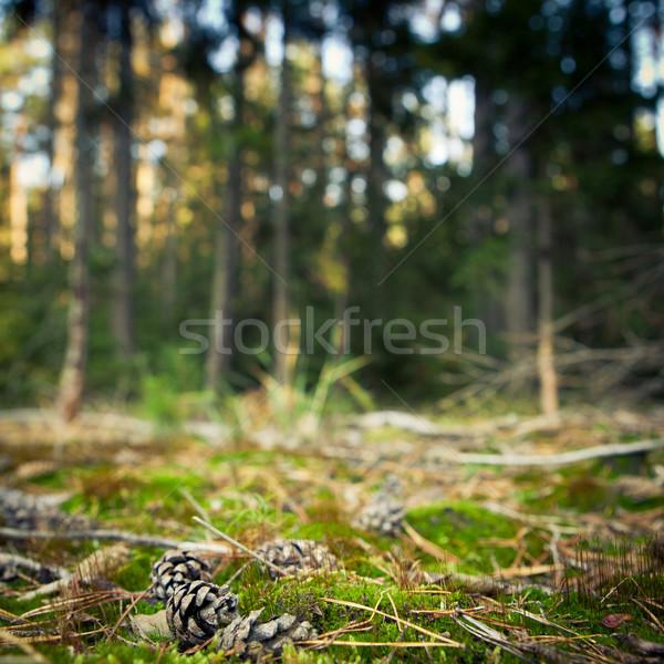 Pinheiro floresta cenário raso forte Foto stock © lightpoet