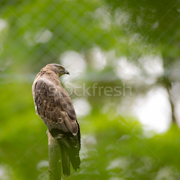 Majestic hawk perching on a dead tree Stock photo © lightpoet
