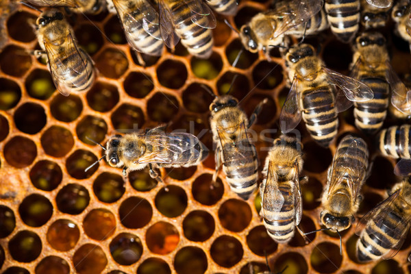 Macro shot of bees swarming on a honeycomb Stock photo © lightpoet