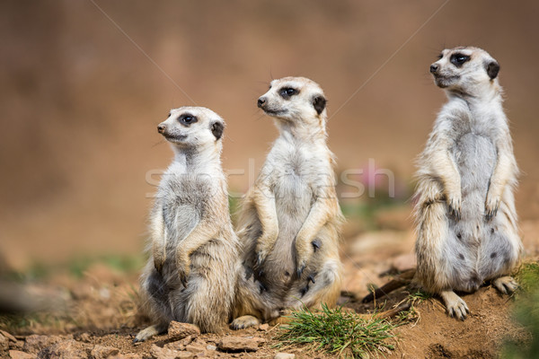 Watchful meerkats standing guard Stock photo © lightpoet