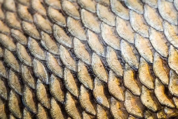 Carp fish scales grunge texture back ground Stock photo © lightpoet