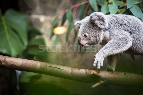 コアラ ツリー 茂み 緑 自然 クマ ストックフォト © lightpoet