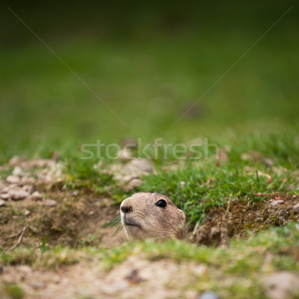 Stock photo: very cute black tailed prairie dog (Cynomys ludovicianus)
