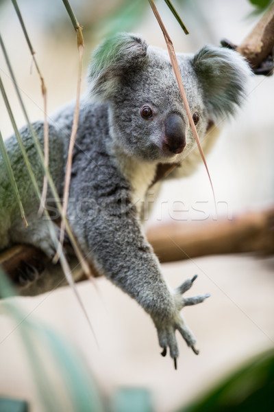 Koala fa bokor zöld természet medve Stock fotó © lightpoet
