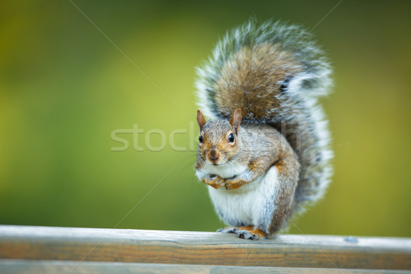 Stock photo: Eastern Grey Squirrel (Sciurus carolinensis)