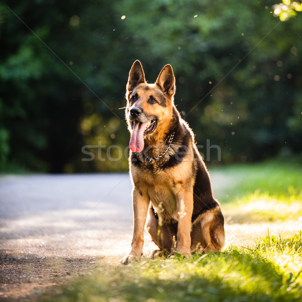 Beautiful German Shepherd Dog (Alsatian) outdoors Stock photo © lightpoet