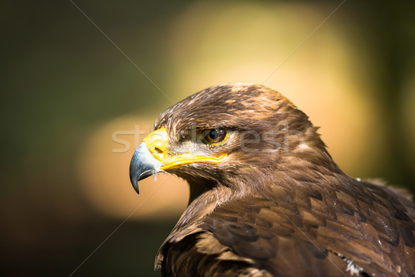 Steppe eagle Stock photo © lightpoet