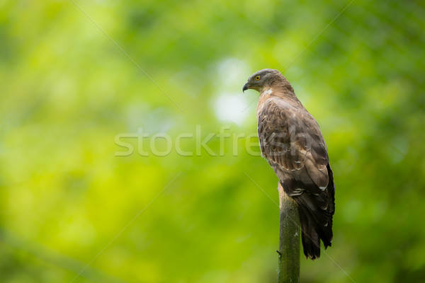 Majestic European honey buzzard perching on a dead tree Stock photo © lightpoet