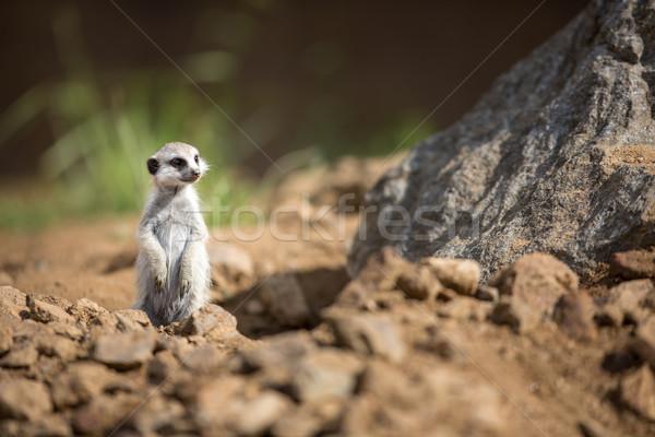Watchful meerkat standing guard Stock photo © lightpoet