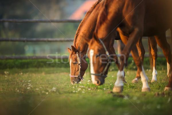 Horses grazing on pasture Stock photo © lightpoet