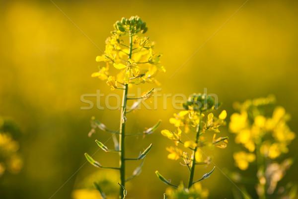 весны трава фон лет области фермы Сток-фото © lightpoet
