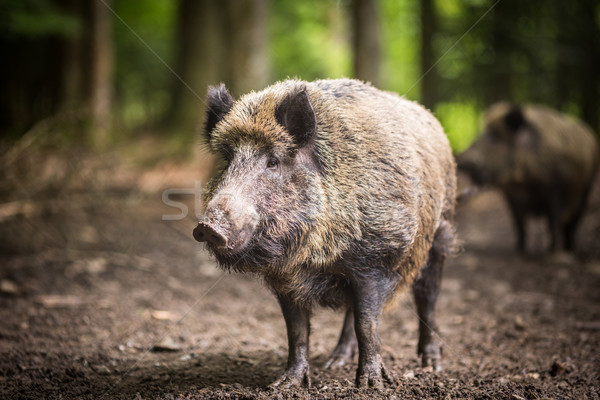 Wild boar (Sus scrofa) Stock photo © lightpoet