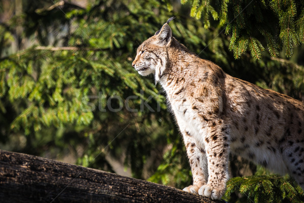 Eurasian Lynx (Lynx lynx) Stock photo © lightpoet