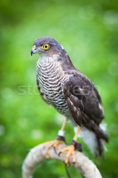 Eurasian sparrowhawk Stock photo © lightpoet