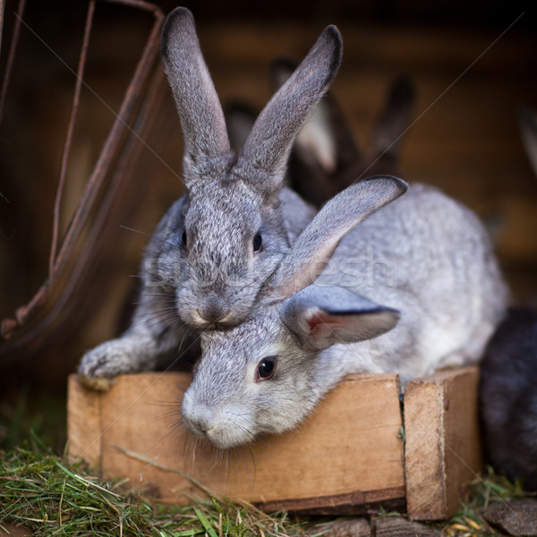 Stockfoto: Jonge · konijnen · uit · europese · konijn · voorjaar
