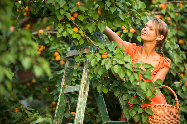 Pretty, young woman picking apricots lit Stock photo © lightpoet