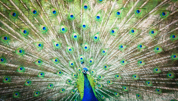 Splendid peacock with feathers out (Pavo cristatus) (shallow DOF Stock photo © lightpoet