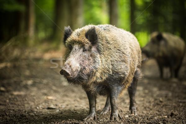 Wild boar (Sus scrofa) Stock photo © lightpoet