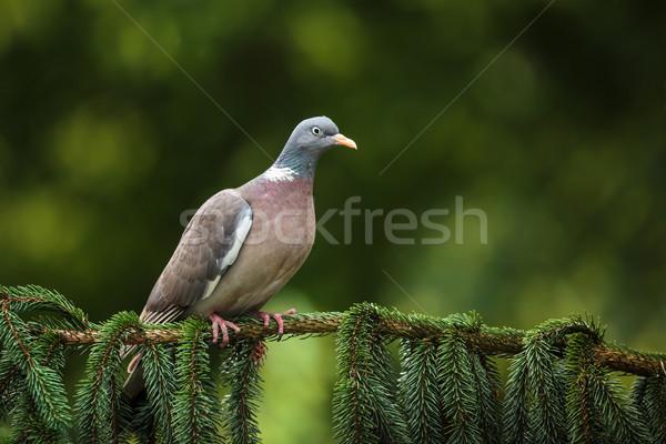 Common Wood Pigeon (Columba palumbus) Stock photo © lightpoet