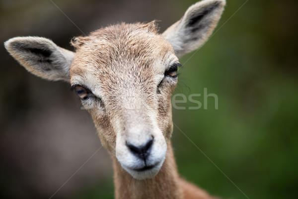 West Caucasian tur (Capra caucasica) Stock photo © lightpoet