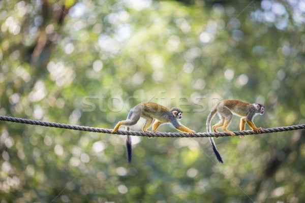 Common Squirrel Monkey (Saimiri sciureus; shallow DOF) Stock photo © lightpoet