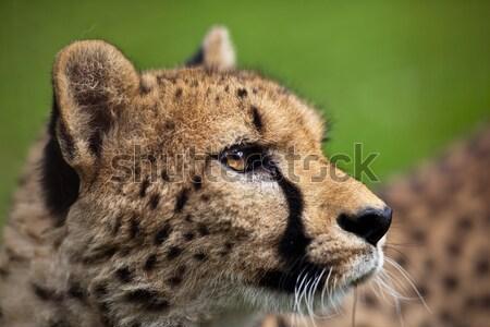 Cheetah gras ogen natuur portret zwarte Stockfoto © lightpoet