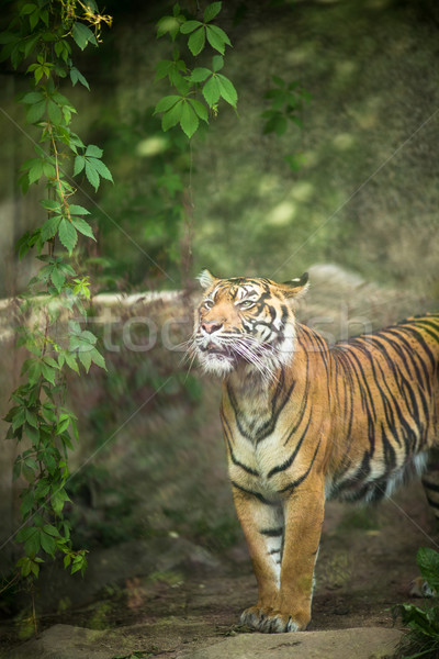 Closeup of a Siberian tiger also know as Amur tiger  Stock photo © lightpoet