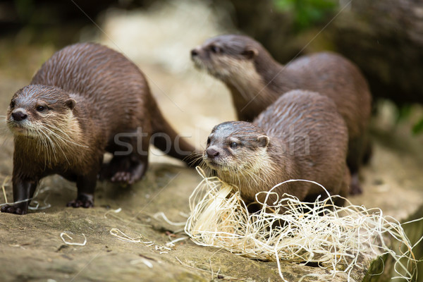 Stock photo: Cute otters - Eurasian otter (Lutra lutra)