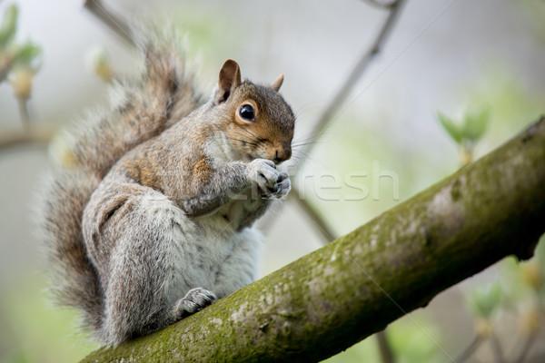 Red squirrel (Sciurus vulgaris) Stock photo © lightpoet