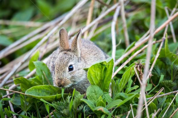 Królik Szkocji wiosną charakter ogród Zdjęcia stock © lightpoet