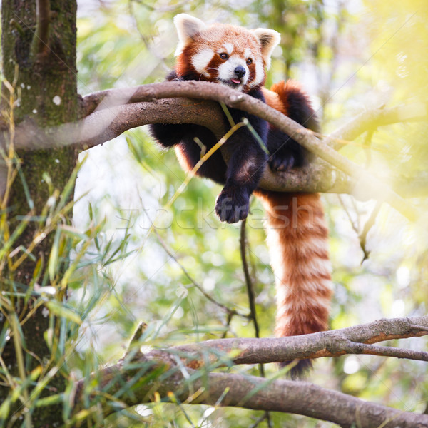 Red panda (Ailurus fulgens, lit. 'shining cat') Stock photo © lightpoet