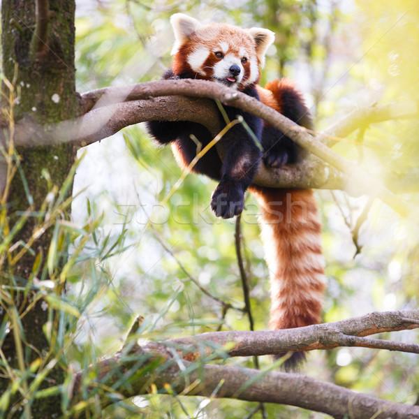 Rood panda kat boom bladeren Stockfoto © lightpoet