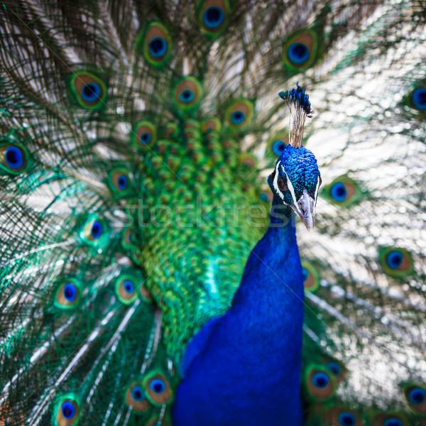 孔雀 羽毛 外に 浅い 色 ストックフォト © lightpoet