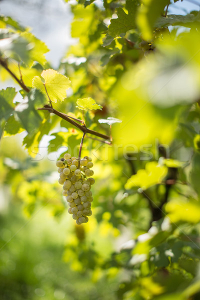 White wine grapes in a vineyard right before the harvest (color  Stock photo © lightpoet