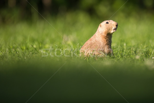 Very cute black tailed prairie dog Stock photo © lightpoet