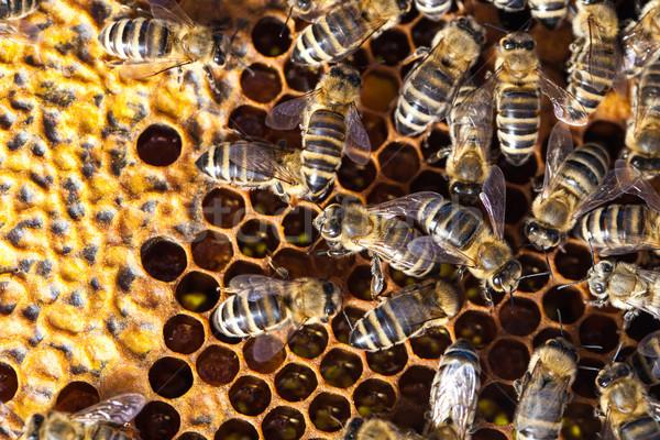 Macro tiro abejas panal jardín marco Foto stock © lightpoet