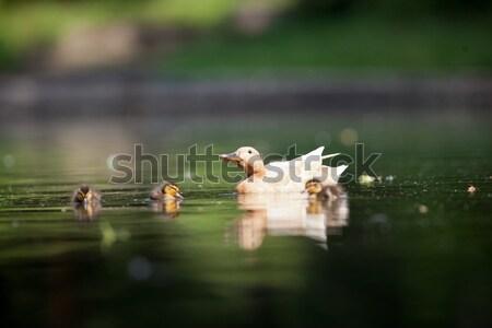 Cute утки семьи пруд Пасху трава Сток-фото © lightpoet