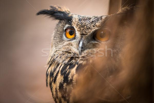 Closeup of a Eurasian Eagle-Owl (Bubo bubo) Stock photo © lightpoet