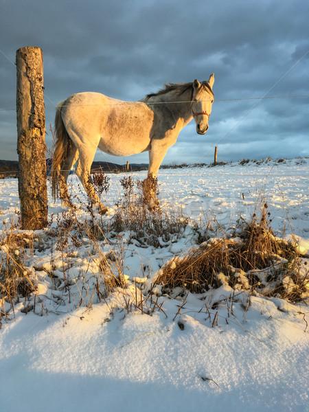 Horse in winter on fresh snow Stock photo © lightpoet