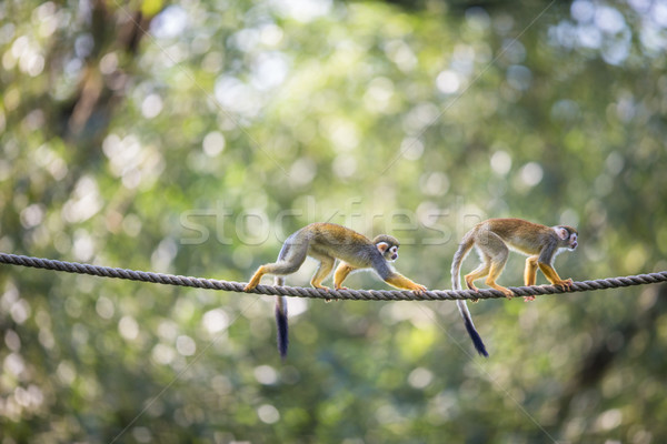 Сток-фото: белку · обезьяны · мелкий · лес · глазах