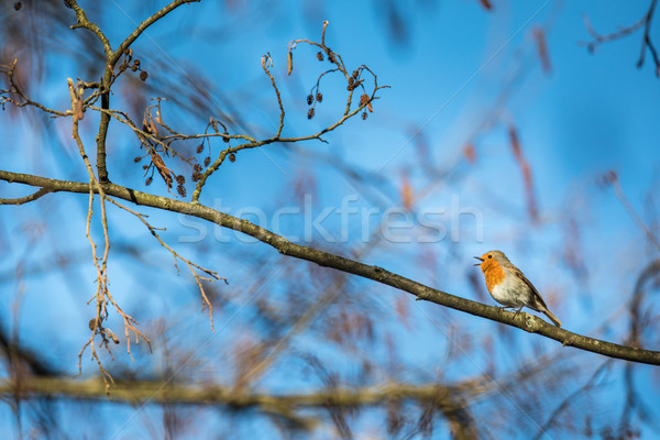 The European robin (Erithacus rubecula) Stock photo © lightpoet