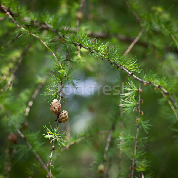 Relaxing larch greenery: closeup of European larch Stock photo © lightpoet