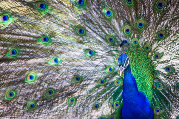 Splendid peacock with feathers out (Pavo cristatus)  Stock photo © lightpoet
